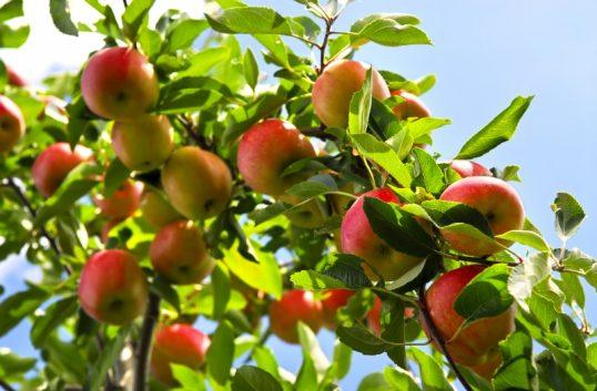 Svenska äpplen mot rekord
