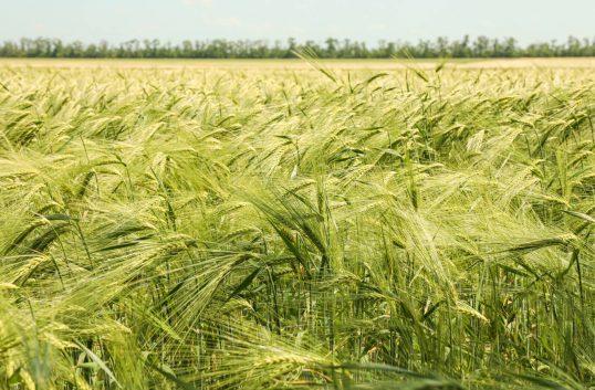 Kraftigt minskad ekologisk skörd
