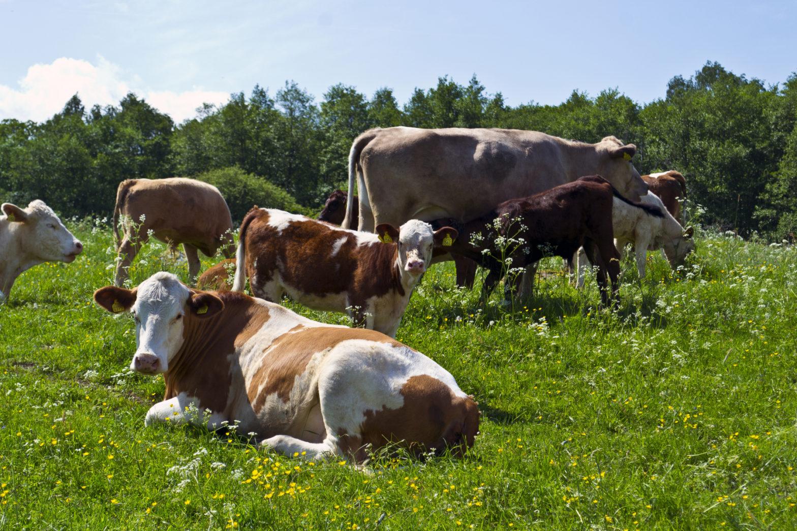 Oklart avtalsläge för mjölkbönder