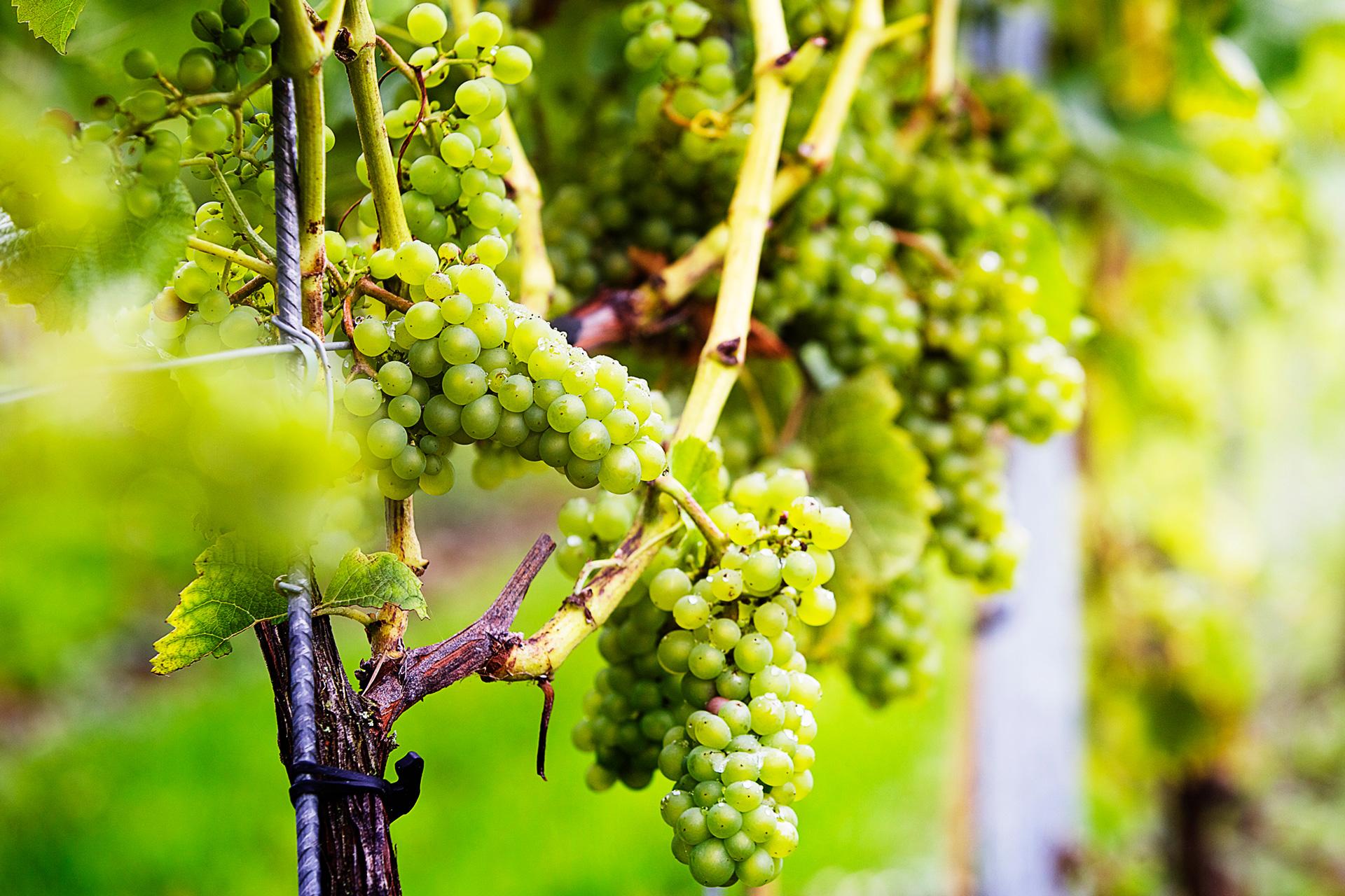 Svensk vinodling är på stark tillväxt