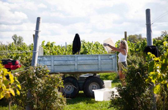 Gynnsamt odlingsår för vårt svenska vin
